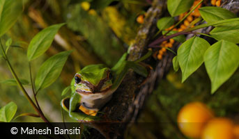 mahesh bansiti green tree frog